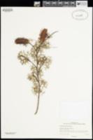 Image of Grevillea asparagoides