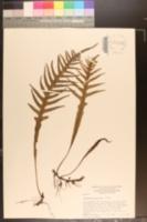 Image of Polypodium pustulatum