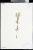 Image of Grevillea huegelii