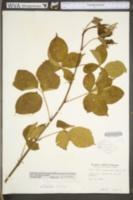 Rubus tygartensis image