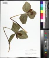 Image of Trillium cuneatum