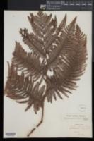 Cibotium glaucum image