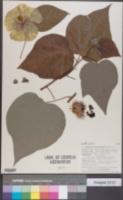 Image of Gossypium klotzschianum