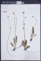 Image of Anemone trullifolia