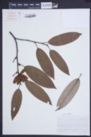 Image of Magnolia floribunda