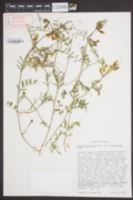 Vicia grandiflora var. kitaibeliana image