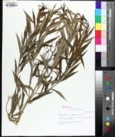 Image of Amsonia ciliata