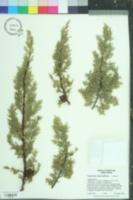 Cupressus macnabiana image