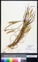 Image of Elymus aristatus