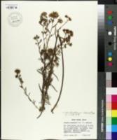 Image of Vernonia chamaedrys