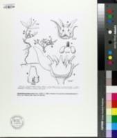 Image of Cynanchum praecox