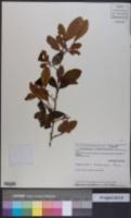 Image of Erythroxylum subracemosum