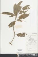 Image of Albertisia laurifolia
