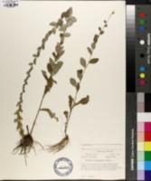 Solidago brachyphylla image