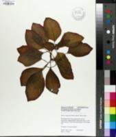 Image of Episcia cupreata