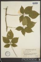 Image of Rubus montensis