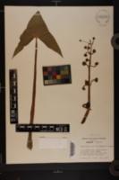 Sagittaria calycina var. calycina image