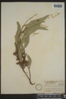 Image of Eucalyptus calophylla