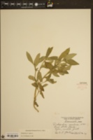 Richardia scabra image