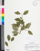 Image of Ilex montana