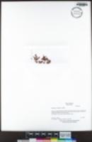 Elatine rubella image