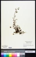 Image of Marsilea macrocarpa