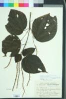 Image of Boehmeria macrophylla