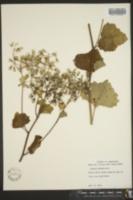 Arnoglossum reniforme image