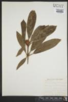 Image of Magnolia glauca