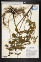 Image of Pycnanthemum floridanum