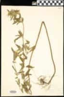 Monarda × media image