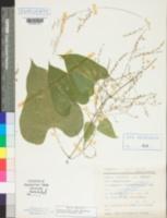 Dioscorea floribunda image
