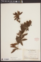 Berberis julianae image