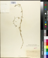 Image of Arenaria palustris