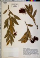 Image of Grevillea victoriae