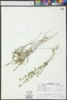 Scutellaria drummondii image
