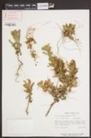 Image of Cuscuta glabrior