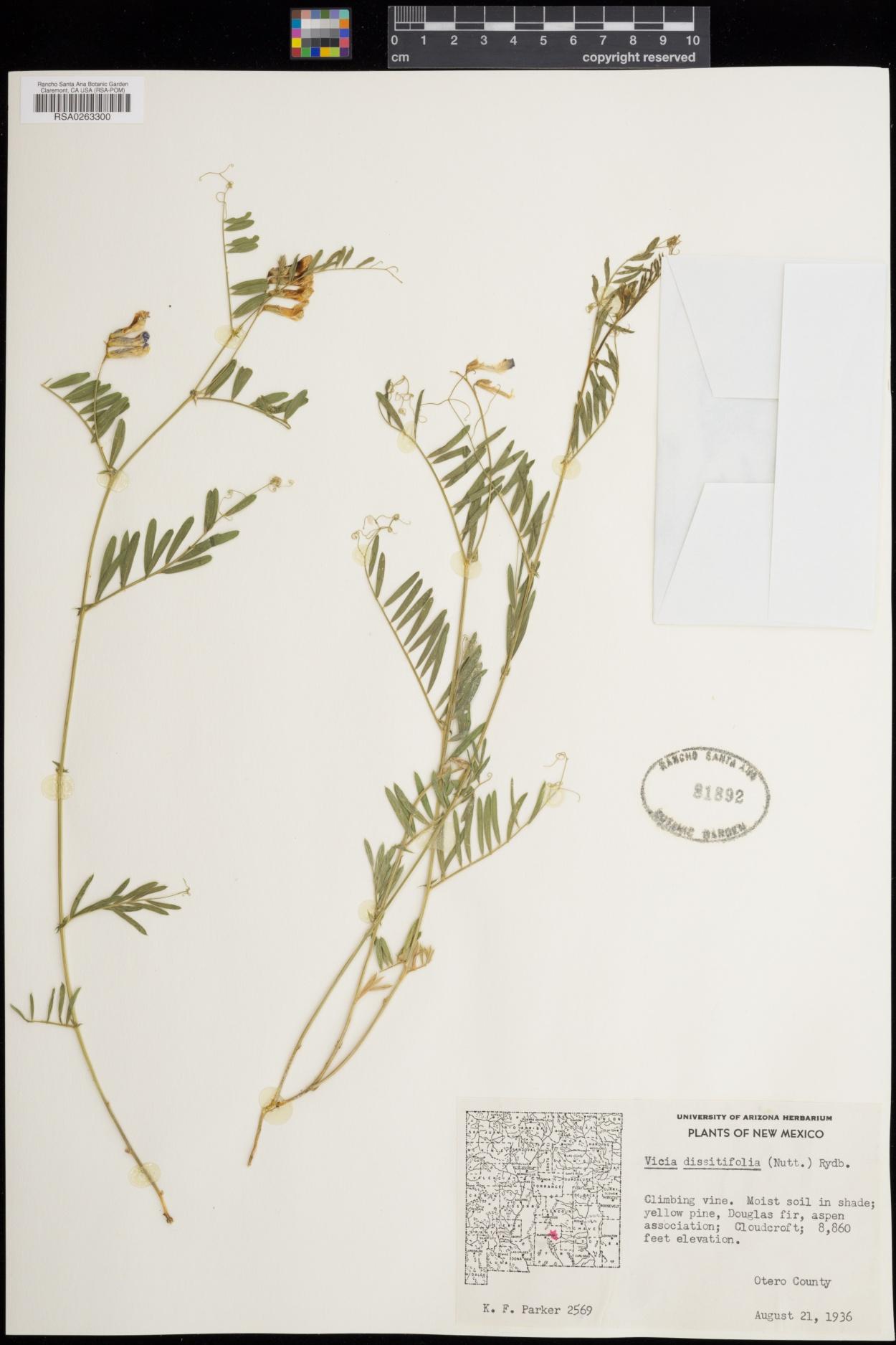 Vicia dissitifolia image