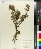 Image of Ribes gracillimum