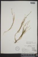 Oenothera linifolia image