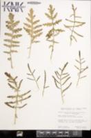 Coincya monensis image