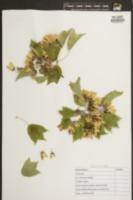 Acer buergerianum image