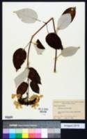 Hydrangea radiata image