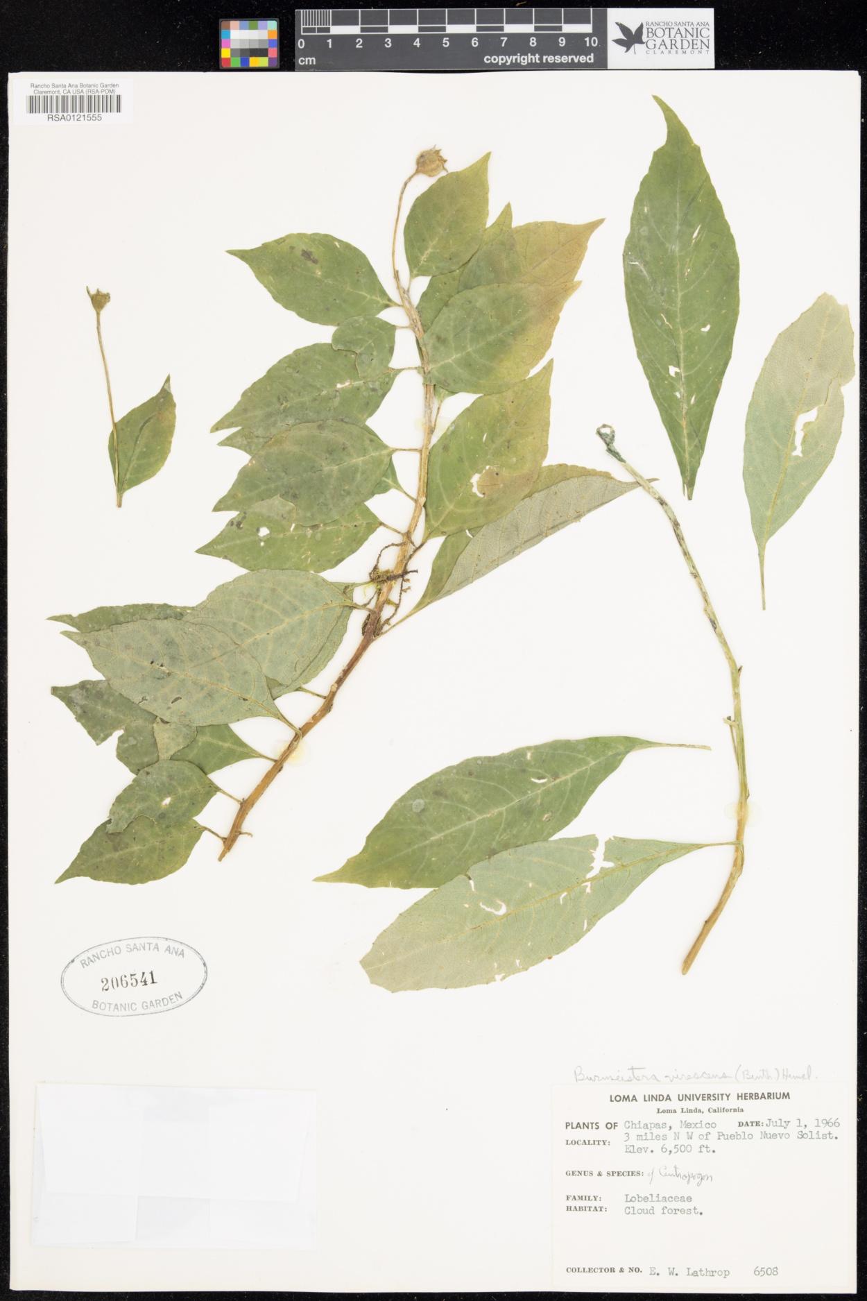 Burmeistera image
