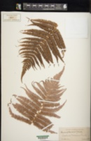 Image of Cibotium chamissoi