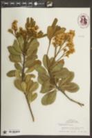 Rhaphiolepis indica image
