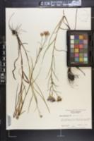 Eurybia paludosa image