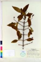 Image of Ligustrum compactum