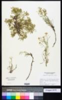 Lesquerella alpina image