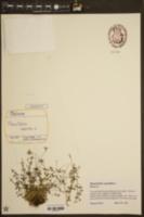 Houstonia caerulea image